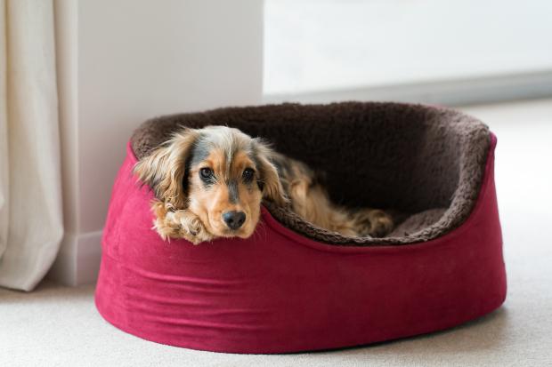 Hund in Hundekorb