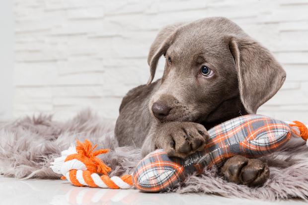 Junger Hund - Wie viel Schlaf brauchen Hunde? Bis zu 22 Stunden Schlaf und Ruhe