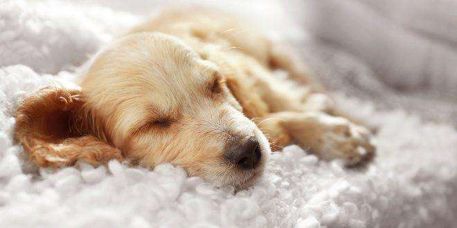 Schlafender Hund - Wie viel Schlaf brauchen Hunde?