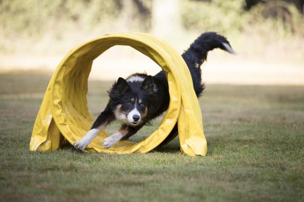 Hund rennt durch Plastikröhre - ein schönes Beschäftigungsspiel für Hunde