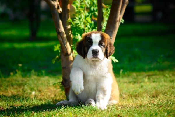 bernhardiner-hundewurzeln