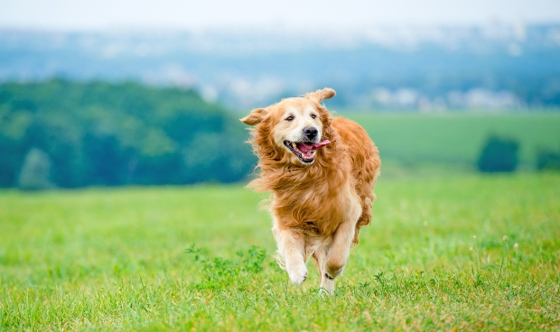 gesunder, rennender Retriever