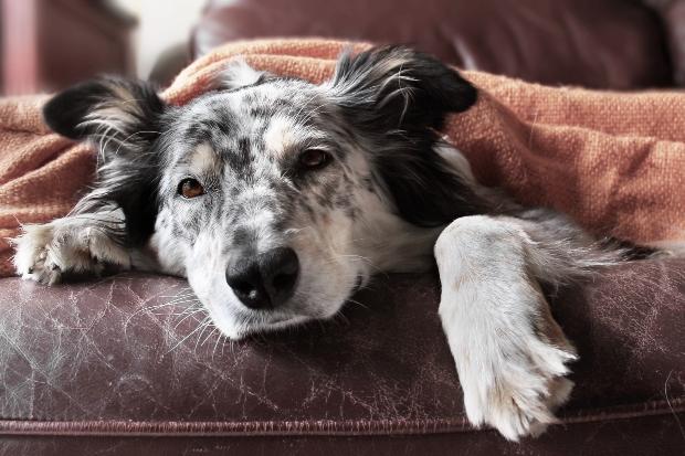 Kranker Hund liegt auf einem Sessel
