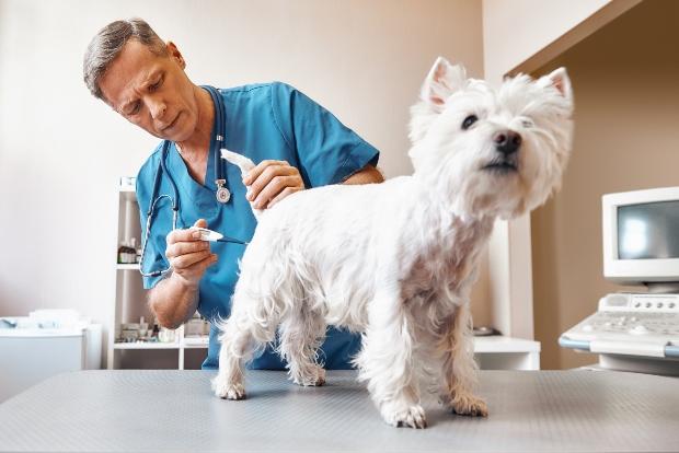 Tierarzt misst Fieber beim Hund