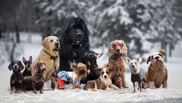 Gruppe von Hunden im Winter - Ein Hund erkältet so leicht
