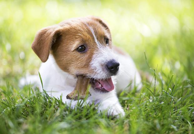 Junger Hund mit Hundekausnack