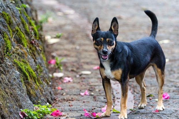 Hund mit aufgestellter Rute