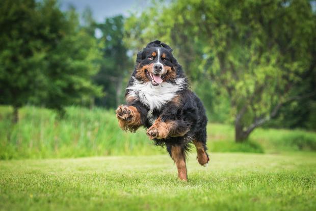 Fröhlicher springernder Hund