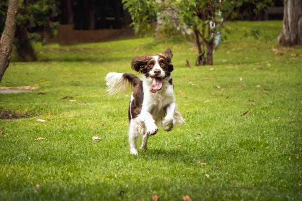 Hund rennt im Park