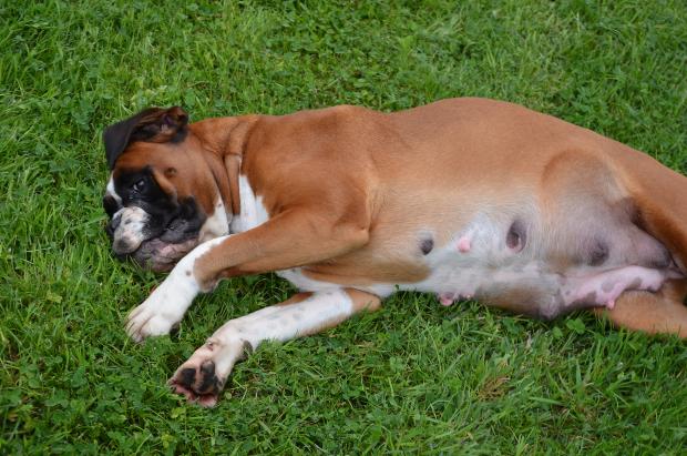 weiblicher Hund liegt seitlich im Gras - Scheinschwangerschaft bei Hunden