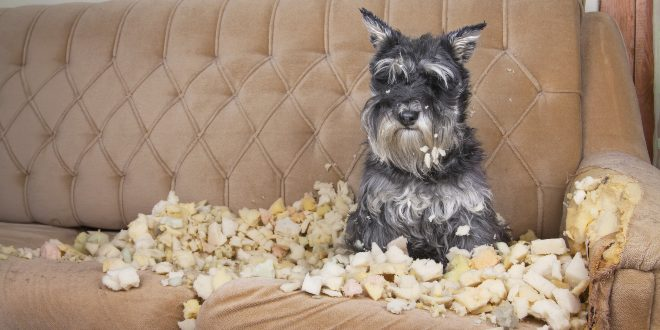 Hund auf kaputter COuch - Hund abgewöhnen, auf Couch zu gehen