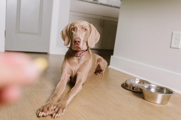 Hund bekommt eine Tablette - Prolaktin-Hemmer für Scheinschwangerschaft bei Hunden