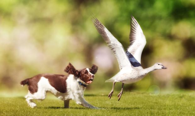 Hund jagt Ente