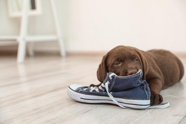 Welpe kaut einen Schuh an - Hundekauwurzeln