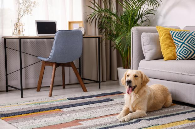 Junger Hund sitzt vor der Couch - Hund abgewöhnen, auf Couch zu gehen