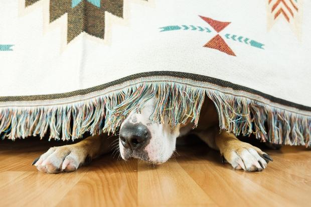 Hund versteckt sich unter einer Decke