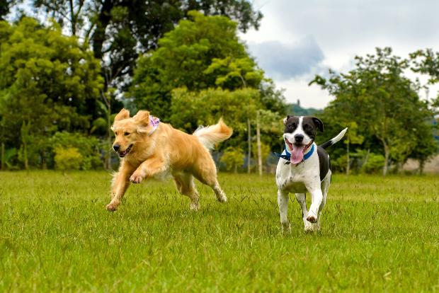 2 rennende Hunde - ein Hund hechelt stark