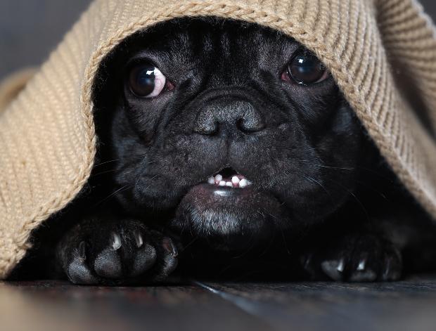 verängstigter Hund kauert unter einer Decke - Auslöser von Reflux bei Hunden