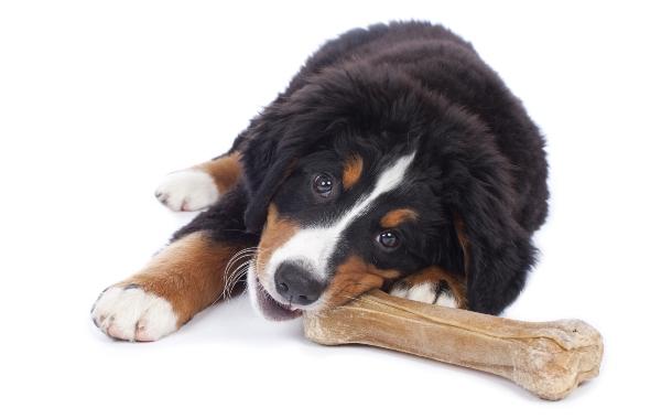 Berner Sennenhund Welpe mit Knochen