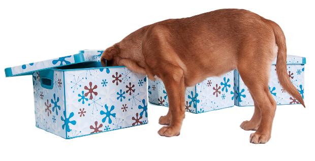 Hund schnüffelt in Schachteln - Intelligenzspiele für Hunde