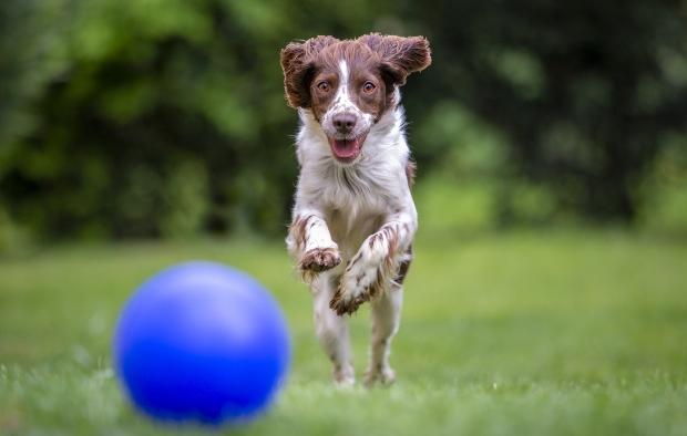 Hund jagd nach Ball