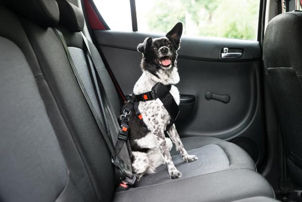 Hund im Hundegurt - Hund im Auto transportieren