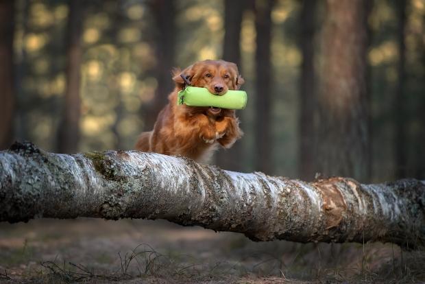 Hund springt über Baumstamm - Hund motivieren ist wichtig