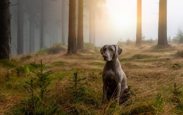 Weimaraner Hund