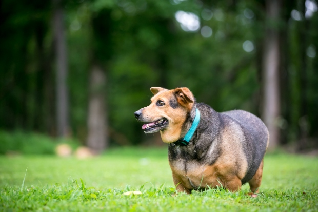 Fettleibiger Hund