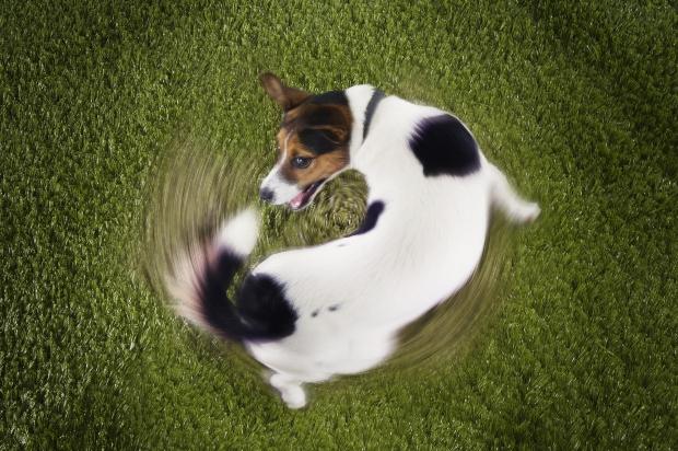Hund dreht sich schnell im Kreis