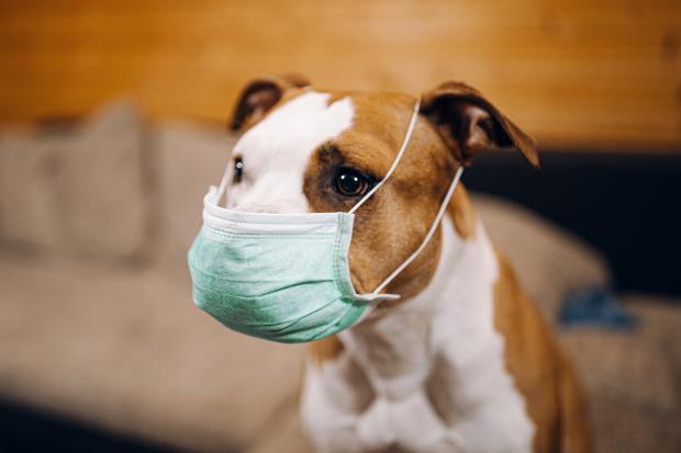 Hund mit Schutzmaske - Corona und Hund