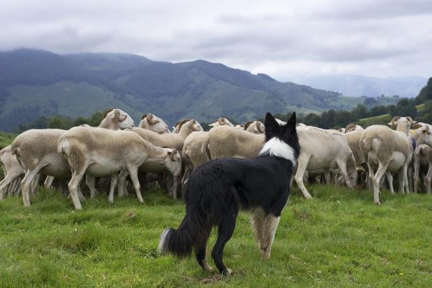 Hund hütet Schafe - Hütetrieb bei Hunden