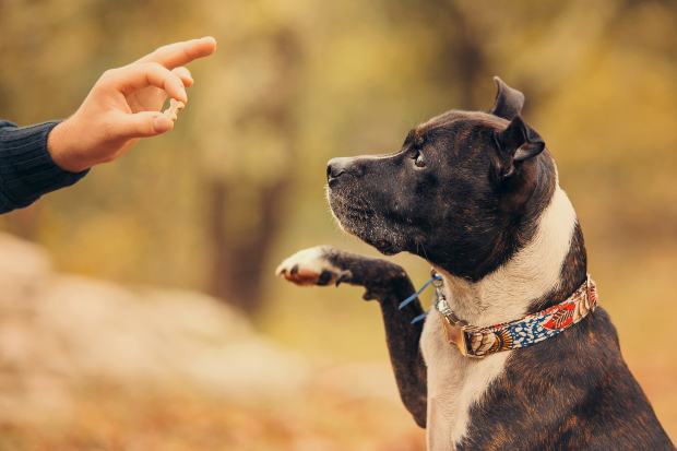 Herrchen zeigt dem Hund ein kleines Leckerli