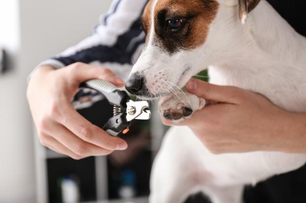 Einem Hund werden die Krallen geschnitten