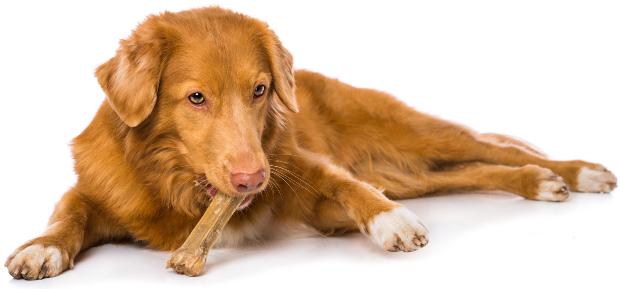 Hund kaut auf einem Kauknochen - Leckereien für Hunde