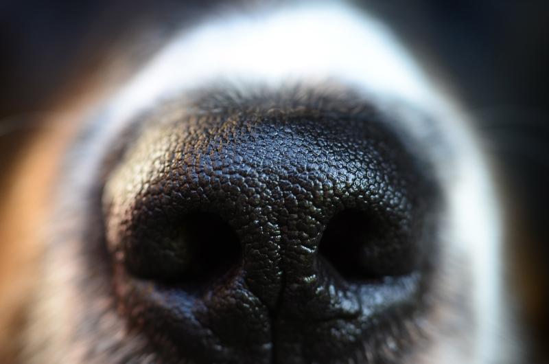 hund-nase-Fährtenarbeit