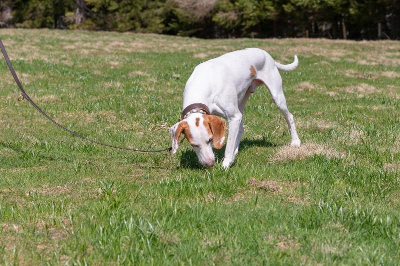 hund-nimmt-faehrte-auf-Fährtenarbeit