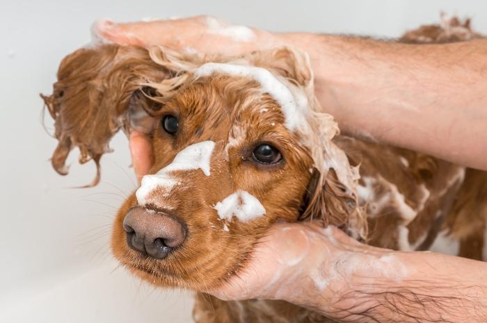 Cocker Spaniel Shampoo Wasser Hundebaden