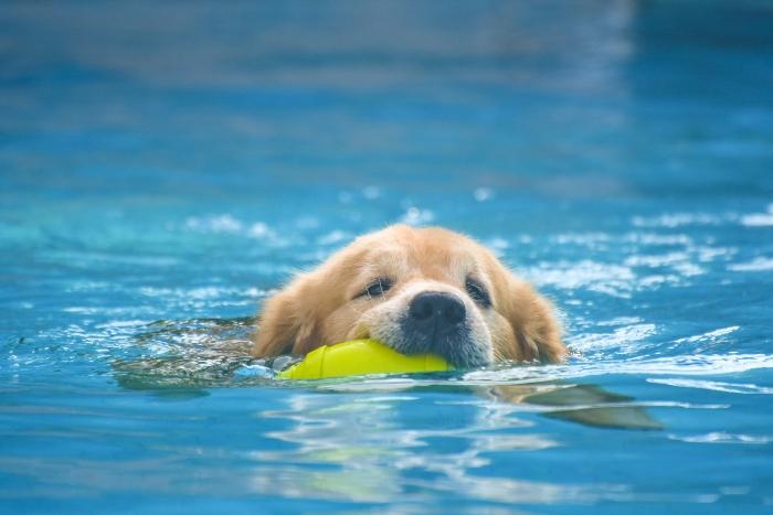 Golden Retriever macht Schwimmuebungen Hundebaden