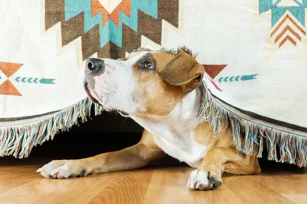 Hund sitzt unter einem Vorhang - der hochsensible Hund versteckt sich