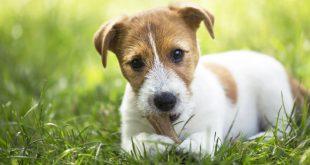 Hundewelpe mit Naturkauartikel