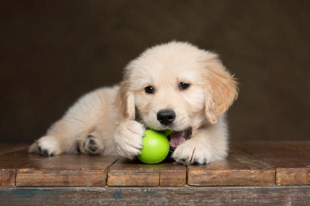 Hundewelpe mit Ball