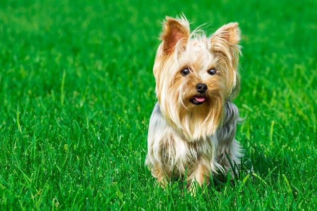Yorkshire Terrier auf der Wiese