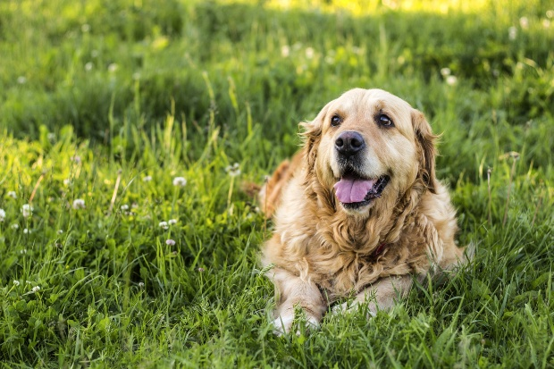 Älterer Hund liegt im Gras