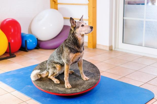 Hund steht auf einem Balance-Board