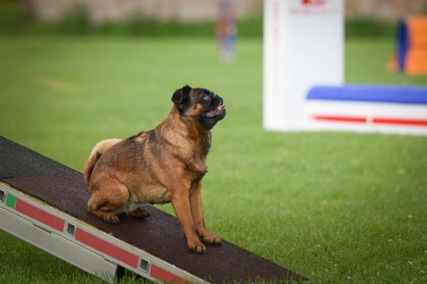 Hund auf einem Hindernis als Teil von Degility Training