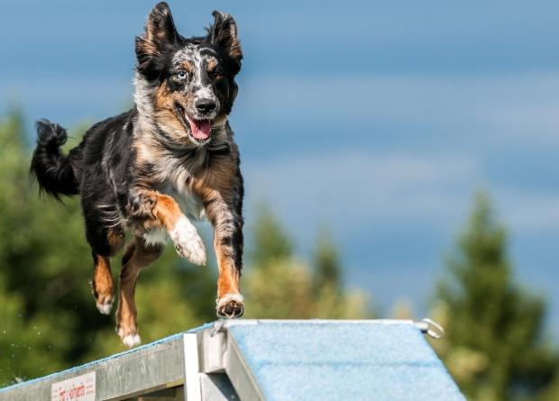 Hund läuft über einen Steg eines Degility Kurses