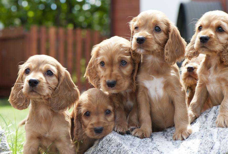 Cocker Spaniel Welpen Hund kaufen oder adoptieren