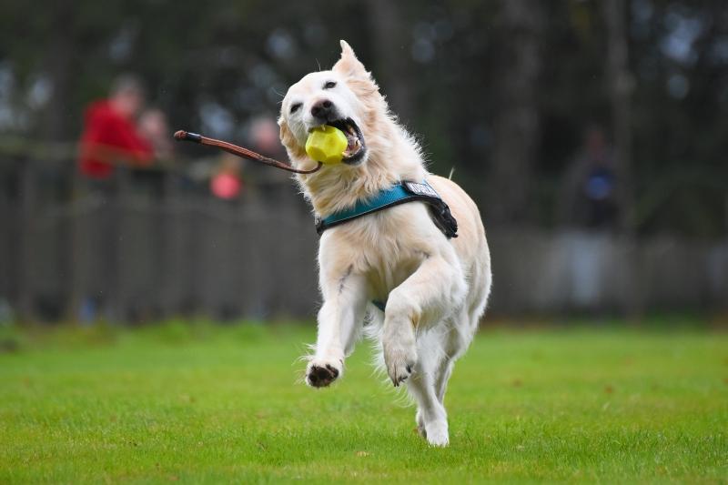 Golden Retriever spielt mit einem Ball Apportieren ueben