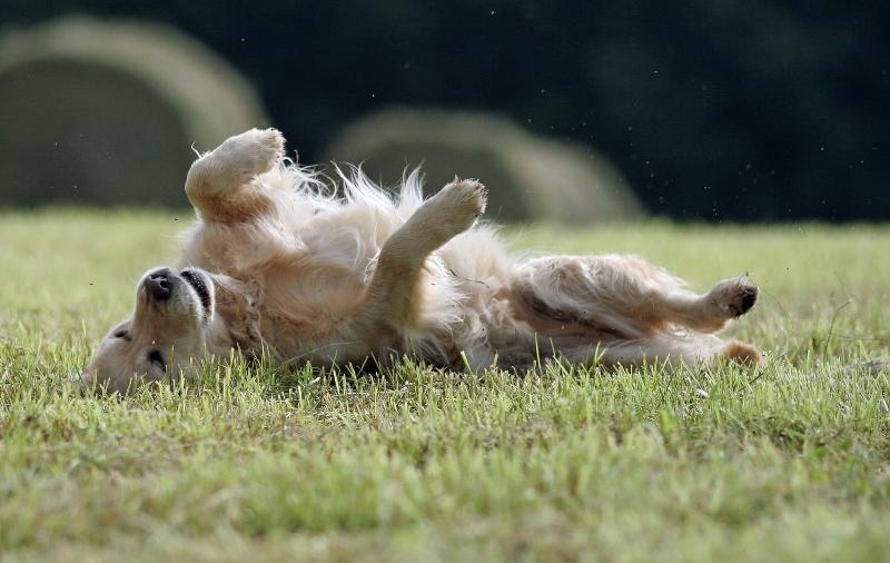 golden-retriever-waelzt-sich juckreiz-bei-hunden